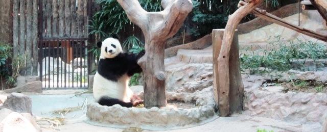 Зоопарк вЧианг Мае: панды здесь!