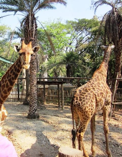 Зоопарк в Чианг Мае жирафы