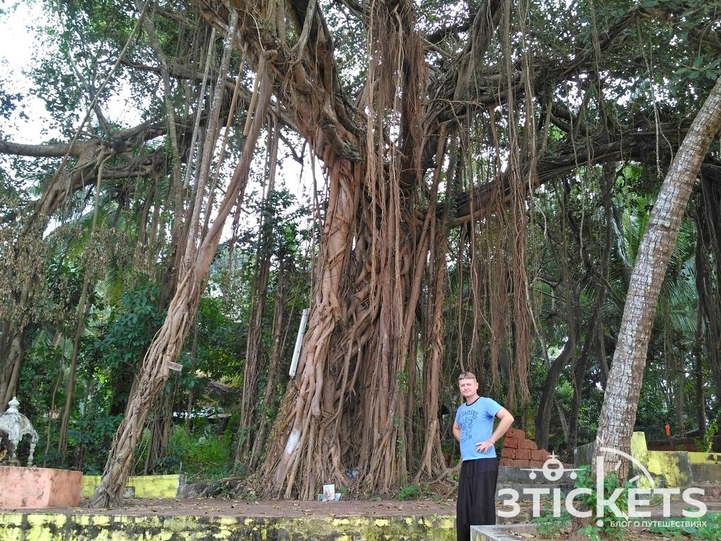 Баньян - дерево в Индии