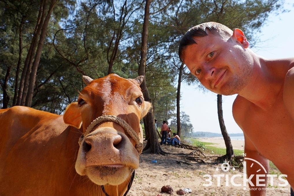 Коровы в Индии