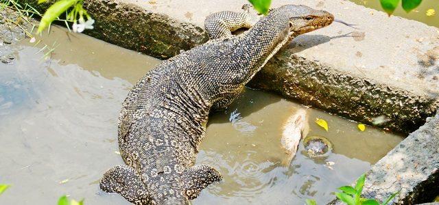 Парк Люмпини: прогулка вБангкоке сваранами ичерепахами
