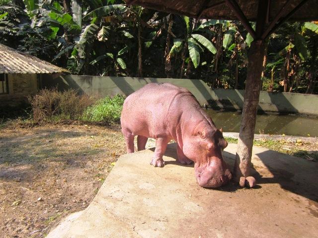Зоопарк в Чианг Мае бегемоты