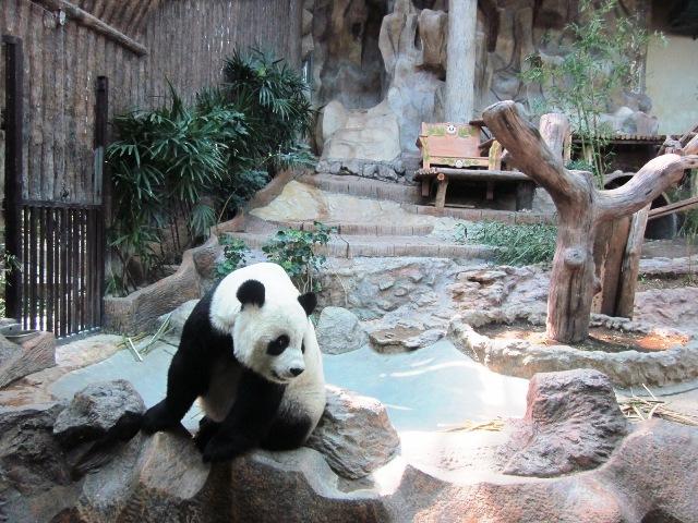 Зоопарк в Чианг Мае панды