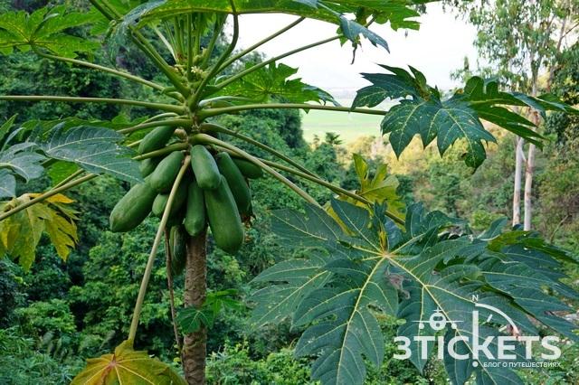 Тропические фрукты Азии: Топ-10 тропических фруктов Азии: папайя