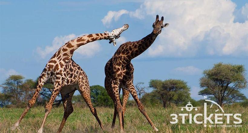 Туристы пострадали от дерущихся жирафов