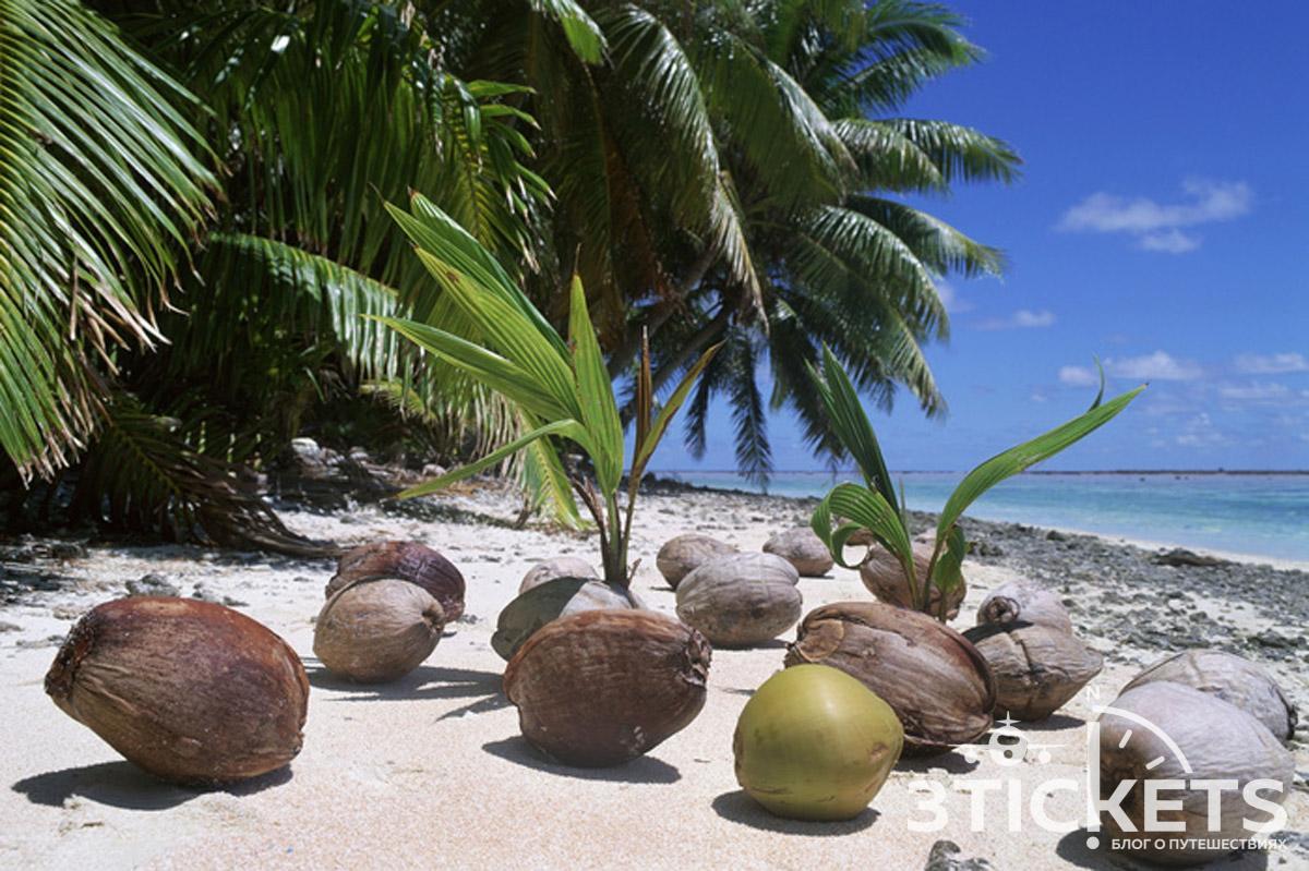 Кокосы, упавшие с пальмы